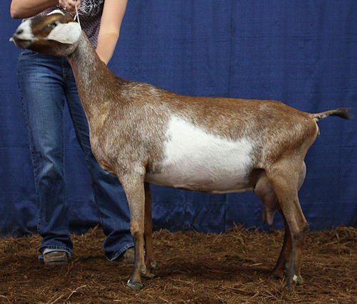 GCH Walnut-Fork Citrus 6*M
